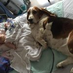 Family Dogs Refuse to Leave Their Girl's Hospital Bedside