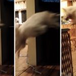 Hilarious Video of Dog Jumping Over Nonexistent Gate