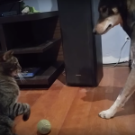 Cat and Dog Siblings Disagree About Who Should Get Tennis Ball